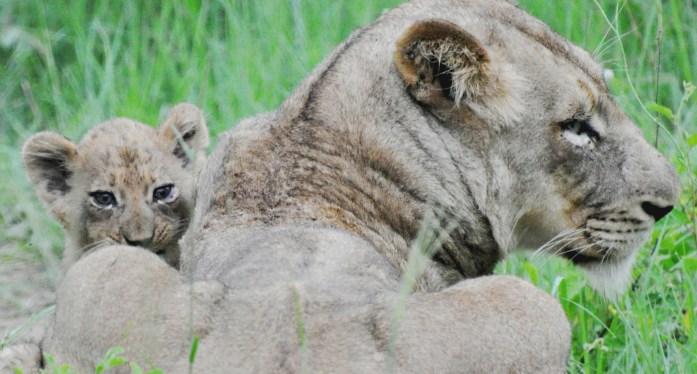 lion cub kirkman camp safari