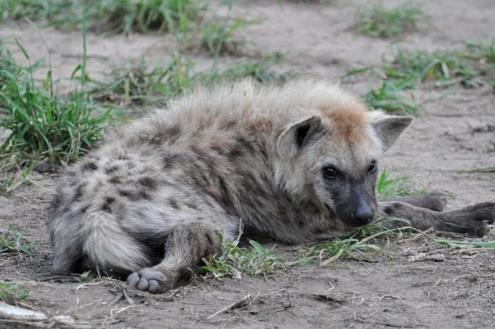 hyena puppy kruger kirkman kamp