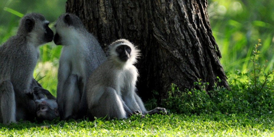 kirman kamp monkeys