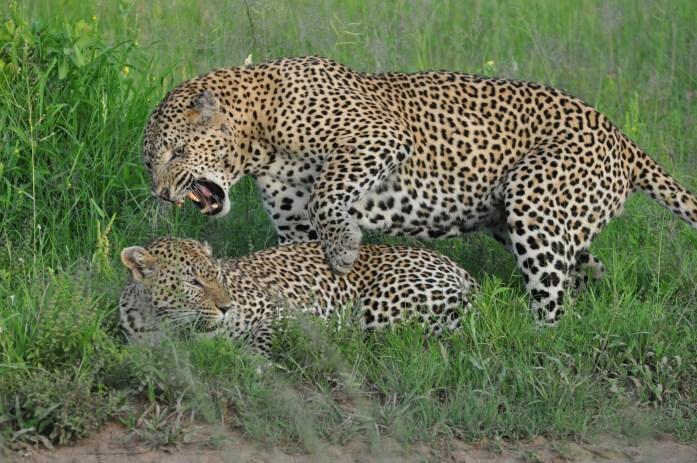 Safari mating leopards big 5