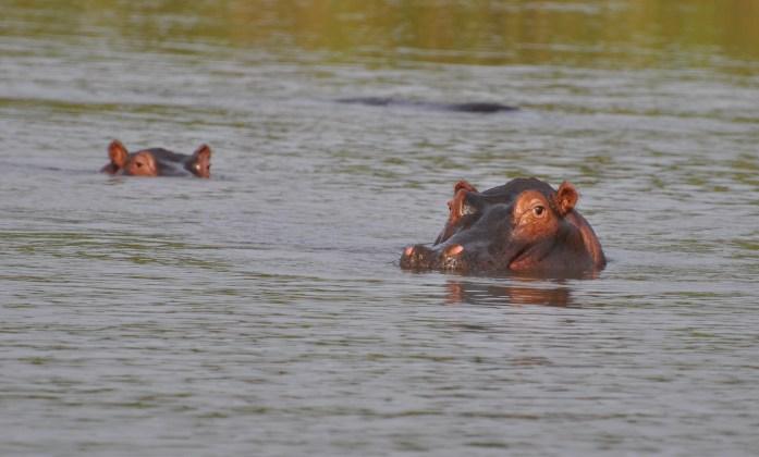 hippo safari