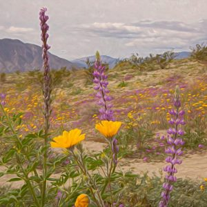 Anza Borrego Desert Wildflowers