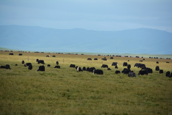 And, of course, these are yaks, dri (female yak) and their babies munching.