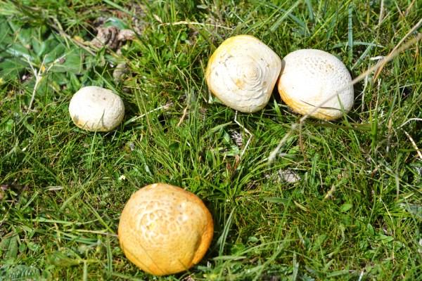 Tibetan yellow mushrooms
