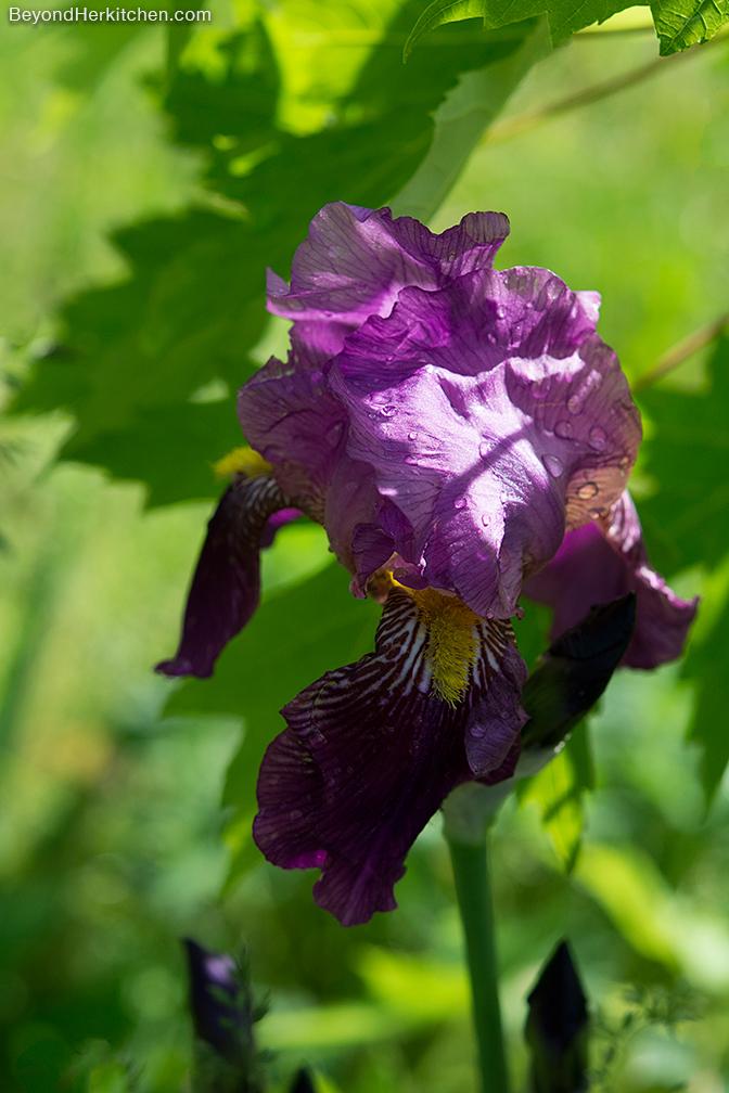 Iris_Purple_6502_sml
