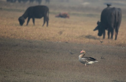 A lonely Greylag Goose. Very unusual to see a solitary bird