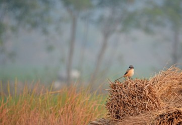 The Masked Bandit - A Longtail Shrike in the evening light