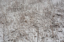 Grass beaten to submission by the snow