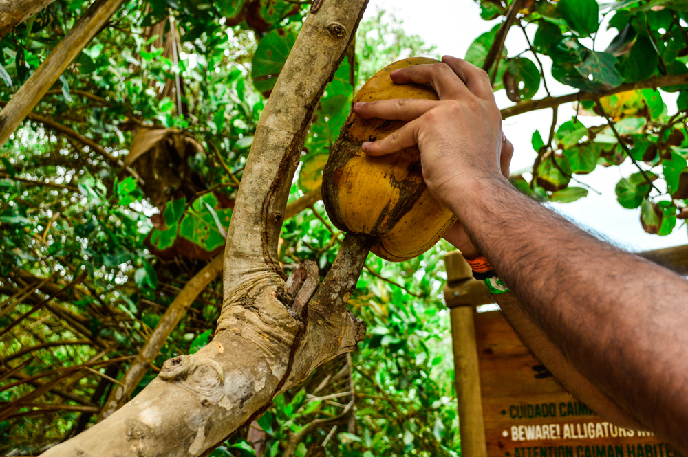My friend trying to crack a coconut on a branch on a sunny day in Tayrona Park