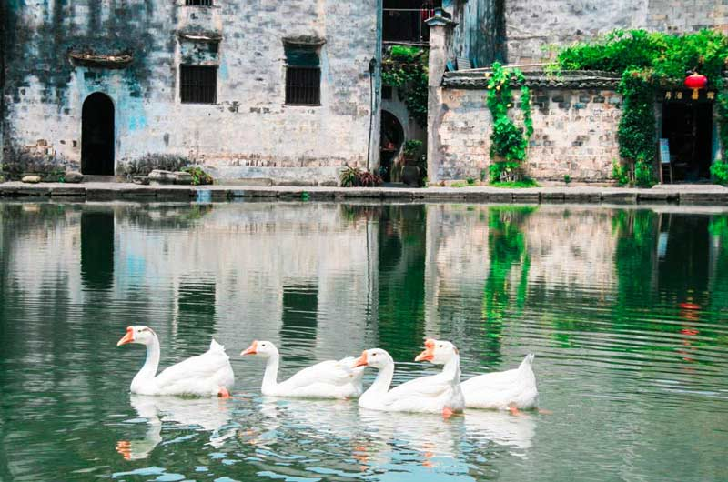 snow-geese-swimming-in-hongcun-china