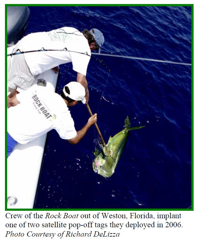 first satellite tag ever on a dolphinfish common dolphinfish, dolphinfish, mahi mahi, dorado