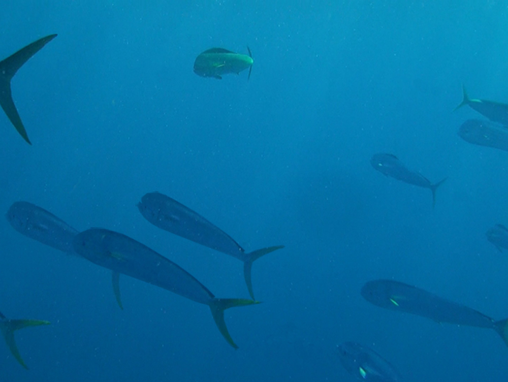 dolphinfish schooling