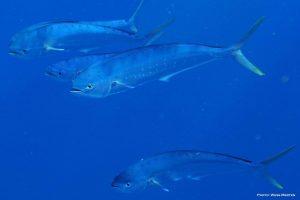 common dolphinfish, mahi mahi, dolphin, dorado, coryphaena hippurus
