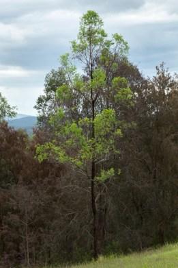 New leaf on an Ironbark Tree