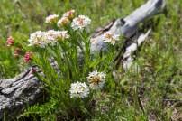 White pincushion like flowers