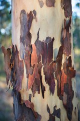 Spotted gum loosing it's bark