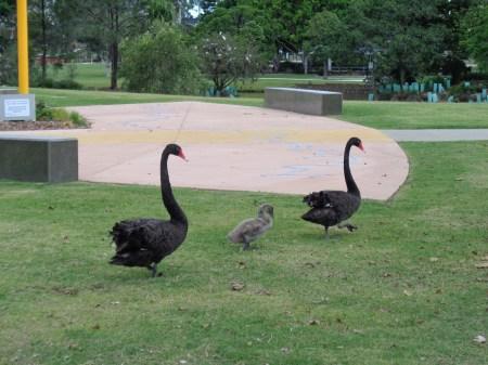 pond - Black swans walking