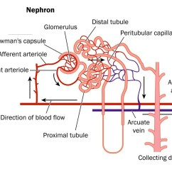 Kidney Cell Diagram Labeled Mitsubishi Truck Radio Wiring Renal Artery  Beyond The Dish