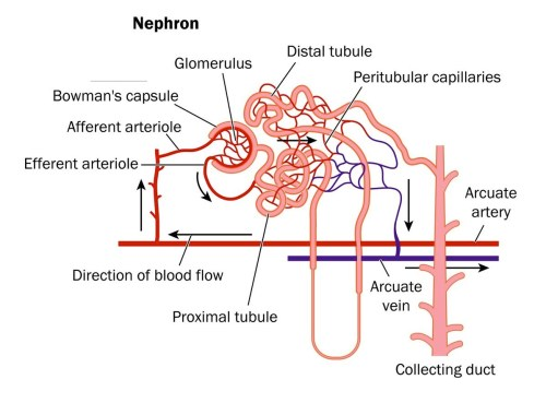 small resolution of nephron image