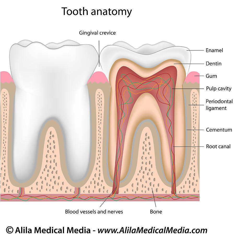 hight resolution of the isolation of dental stem cell lines and how they repair teeth