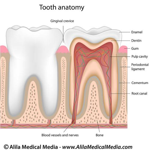 small resolution of the isolation of dental stem cell lines and how they repair teeth
