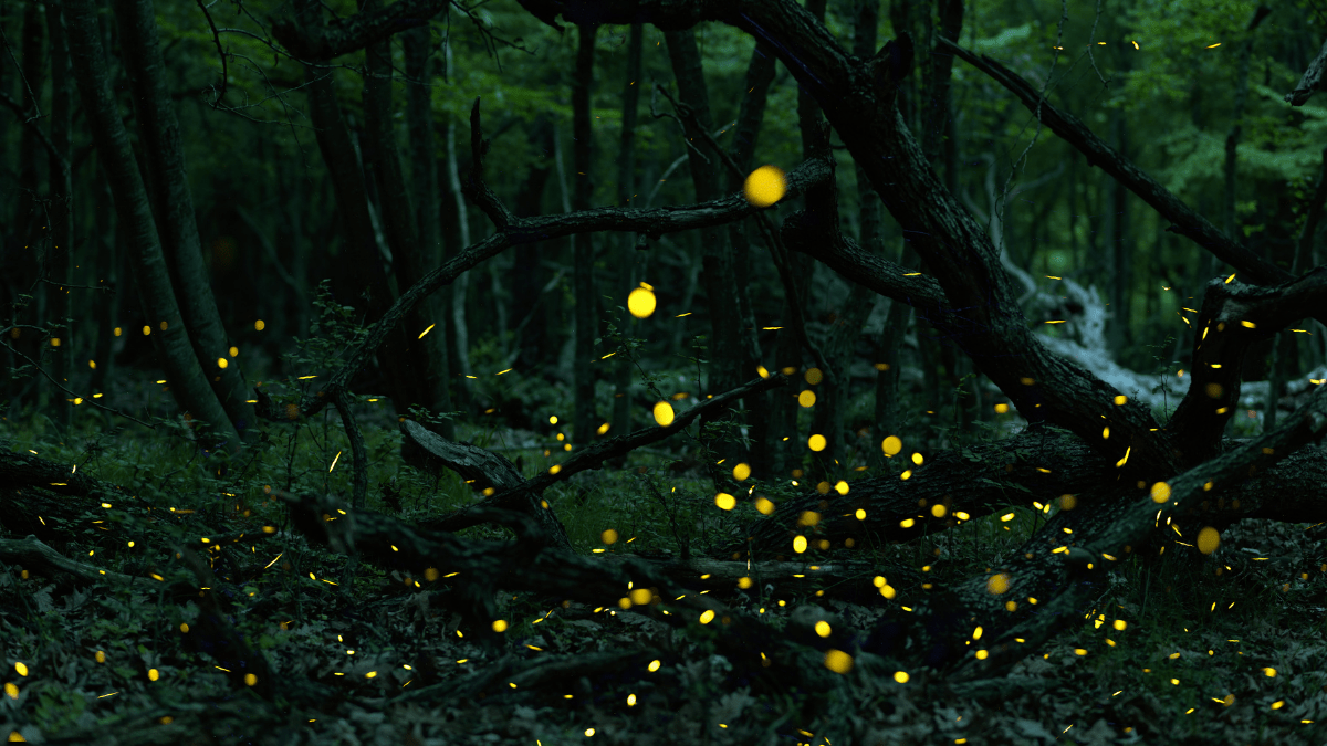 Fireflies | Jonaki