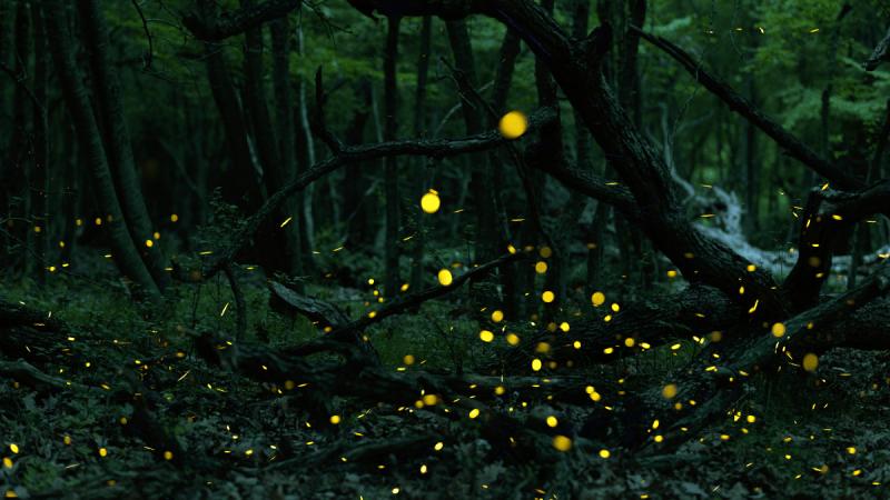 Fireflies   Jonaki