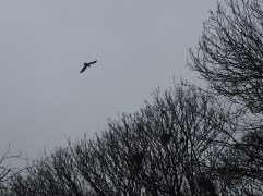 rook in flight silhouette Yorkshire