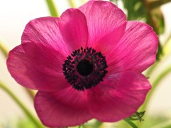 pink anemone close up