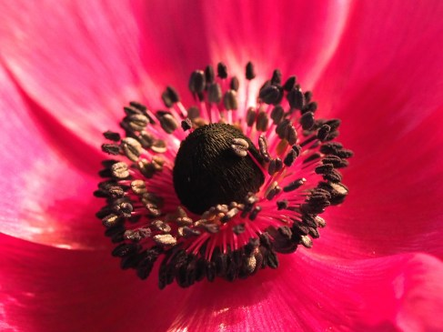 close up stamens pink anemone
