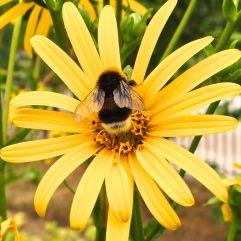 Another garden bumblebee?