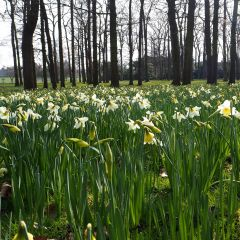 Daffodils in the Parc Floral