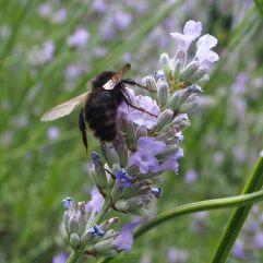Dark variant male field cuckoo bee