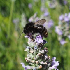 Or maybe not. Male field cuckoo bee in plain view