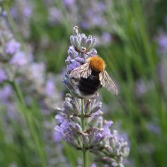 A tree bumblebee (Bombus hypnorum) This species only arrived in Britain in 2001 but is now widespread. They prefer to nest in trees, often in bird boxes.
