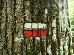 GR trail marker cut and painted on an oak trunk