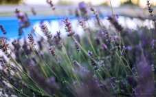 Istrian lavender