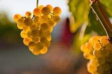 Malvasia grape