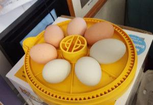 eggs_incubator_7eggs_final_edited