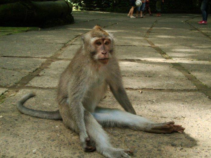 monkey ubud bali opica