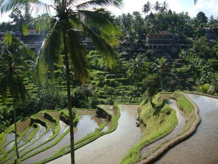 paddy fields rice fields ryzove polia bali