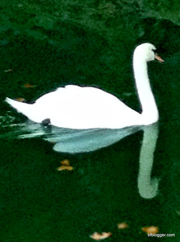 Swan at Valle d'Eur Uzes France