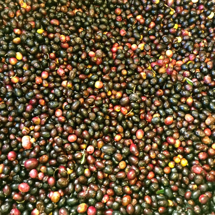 Bushels of olives ready for the next day's work