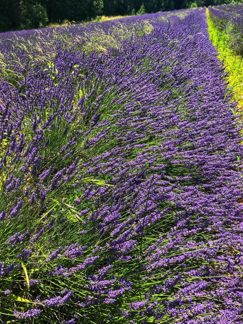 Lavender fields near Uzès