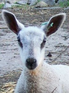 BFL ewe lamb
