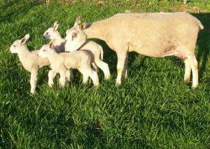BFL triplet lambs