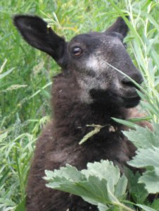 natural colored BFL lamb