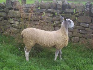 lamb by Heddon Valley X4