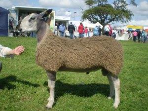 Grugoer Welshman lamb