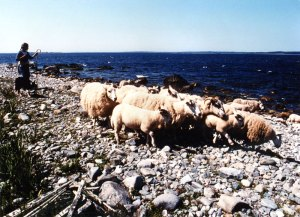 Anne Priest hearding sheep on McNutt's Island beach